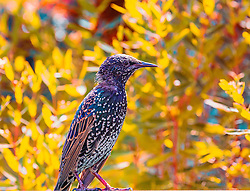 The Common Starling, also known as the European Starling or just Starling, is a passerine bird in the family Sturnidae. This species of starling is native to most of temperate Europe and western Asia.