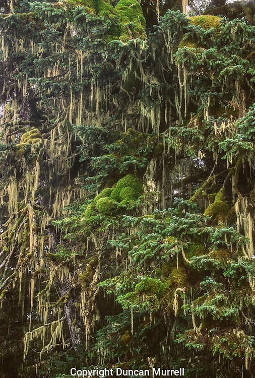 Western hemlock (Tsuga heterophylla) trees festooned with moss and usnea or old man's beard (Usnea longissima), Tongass National Forest, Southeast Alaska, USA.