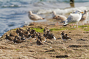 A group of turnstones on a breakwater at Dawlish during high tide, with herring gulls in the background.