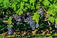 Grapes on the VInes, Wolffer Estate Vineyards, Sagaponack, Long Island, New York