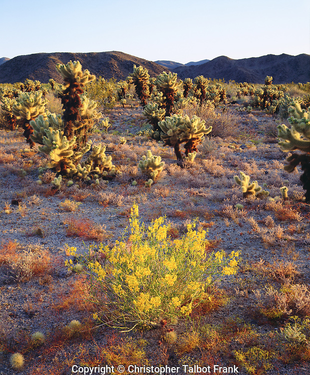 I took this picture at sunrise with backlight to show the glowing wildflowers and cholla cactus in Joshua Tree National Park.  The bright yellow desert flowers stand in stark contrast to the spiny cacti.