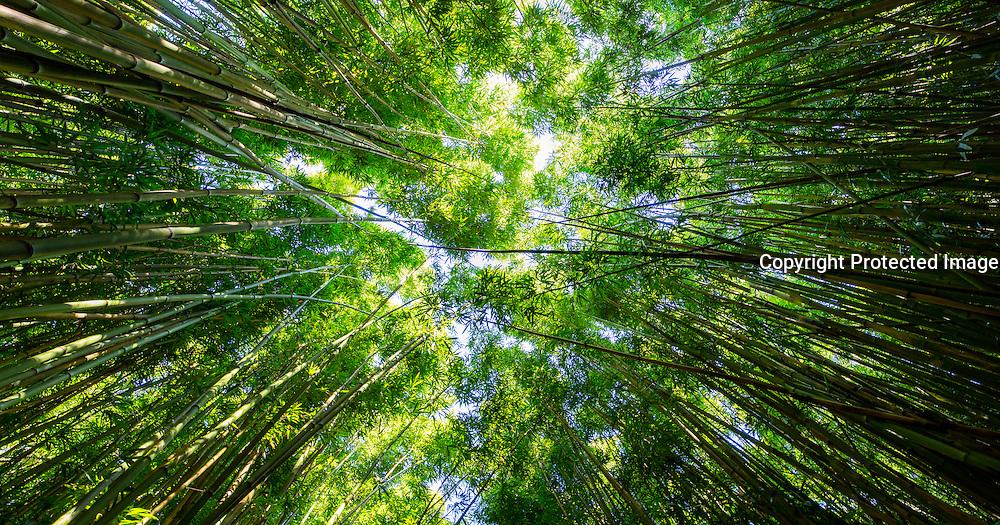 Bamboo, Pipiwai Trail, Haleakala National Park, Kipahulu, Hana Road, Maui, Hawaii