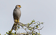 Gray kestrel (Falco ardosiaceus) from Maasai Mara, Kenya.