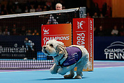 Hattie the balldog runs for a ball, John McEnroe looking on.<br /> Ball dogs step onto the court at the Royal Albert Hall for the first time in UK history during this year's Champions Tennis event in association with Skinner's Pet Food, with dogs provided by Canine Partners. <br /> During the Champions Tennis match at the Royal Albert Hall, London, United Kingdom on 6 December 2018. Picture by Ian Stephen.