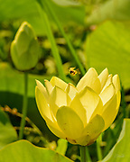 A Western honey bee (Apis mellifera) approaches an Indian Lotus (Nelumbo nucifera) Blossom.  <br /> <br /> The Western or European honey bee is the most common of the 7&ndash;12 species of honey bee worldwide, and one of the first domesticated insects.  It is the primary species maintained by beekeepers to this day for both its honey production and pollination activities. With human assistance, the western honey bee now occupies every continent except Antarctica. Because of its wide cultivation, this species is the single most important pollinator for agriculture globally. <br /> <br /> The Indian or Sacred Lotus has roots in the soil of the pond bottom, while the leaves float on top of the water surface or are held well above it. The flowers rise above the leaves and the plant normally grows to a height of about 150 cm (60 inches) and a horizontal spread of up to 3 meters (over 3 feet).  A single leaf may be as large as 60 cm (24 inches) in diameter, while the showy flowers can be up to 20 cm (8 inches) in diameter.  The lotus has a remarkable ability to regulate the temperature of its flowers to within a narrow range.  Lotus flowers have been shown to maintain a temperature of 30&ndash;35 &deg;C (86&ndash;95 &deg;F), even when the air temperature dropped to 10 &deg;C (50 &deg;F). The Lotus is one of only three species of known thermoregulating, heat-producing, plants. Lotus flowers, seeds, young leaves, and roots are all edible.  An individual lotus can live for over a thousand years and has the rare ability to revive into activity after stasis. In 1994, a seed from a sacred lotus, dated at roughly 1,300 years old &plusmn; 270 years, was successfully germinated.<br /> <br /> In Buddhist symbolism, the lotus represents purity of the body, speech, and mind as if floating above the muddy waters of attachment and desire. In classical written and oral literature of many Asian cultures, the lotus represents elegance, beauty, perfection, purity and grace.