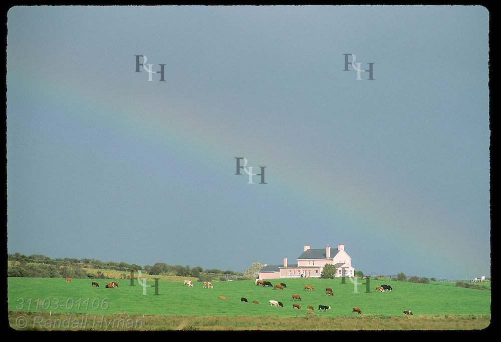 Rainbow arches over pink farmhouse as cattle graze in pasture; Lahinch, County Clare, Ireland.