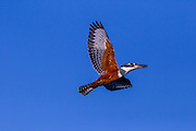 Ringed Kingfisher, Brazil; Mato Grosso; Megaceryle torquata; Pantanal;