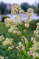 Poelruit, Thalictrum flavum