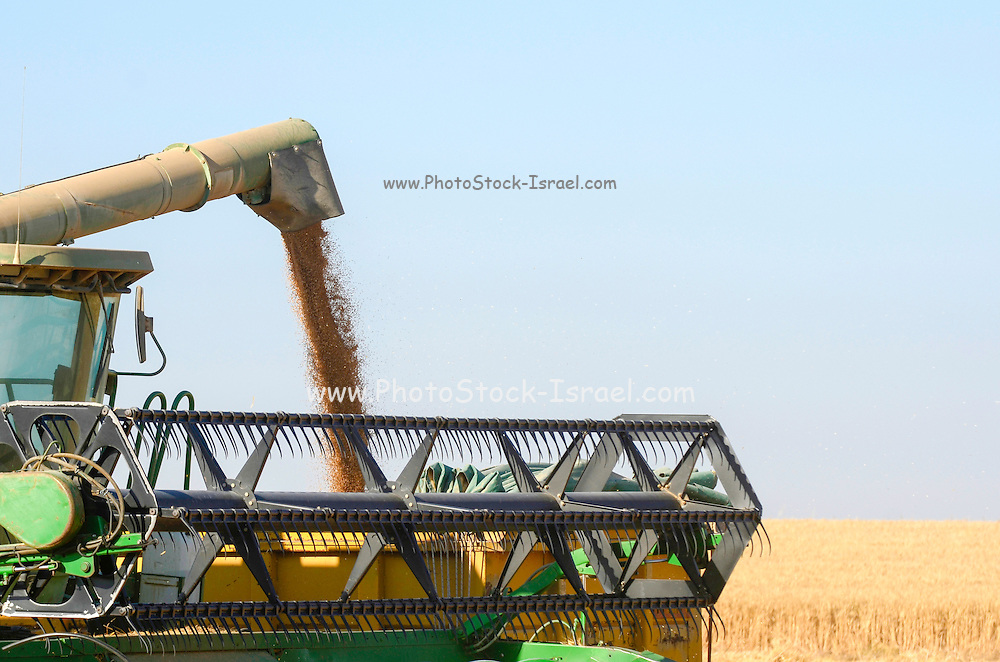 Wheat harvesting grain flows from the combine