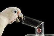 [captive] Goffin's cockatoo (Cacatua goffiniana). In this experiment, the cockatoo learns to use a tool. It needs to use a small ball to remove a treat (peanut) from a box. Goffin's cockatoos or Tanimbar Corellas are endemic to the Tanimbar archipelago in Indonesia. Research on their cognitive abilities is done in the Goffin Lab (Lower Austria) by Dr. Alice M. I. Auersperg. Sequence 7/8. | Goffinkakadu (Cacatua goffiniana). In diesem Versuch muss der Goffinkakadu erlernen, mit einer Kugel eine Belohnung (Erdnuss) heraus zu kegeln, um sie zum Rausfallen aus einer ansonsten unzugänglichen Box zu bringen. Der Kakadu lernt hierbei den Werkzeuggebrauch. Der Goffinkakadu ist eine Papageienart und kommt in freier Wildbahn ausschließlich auf der indonesischen Inselgruppe Tanimbar vor. Forschung zu kognitiven Fähigkeiten des Goffinkakadus wird im Goffin Lab (Niederösterreich) von Dr. Alice M. I. Auersperg durchgeführt. Sequenz 7/8.