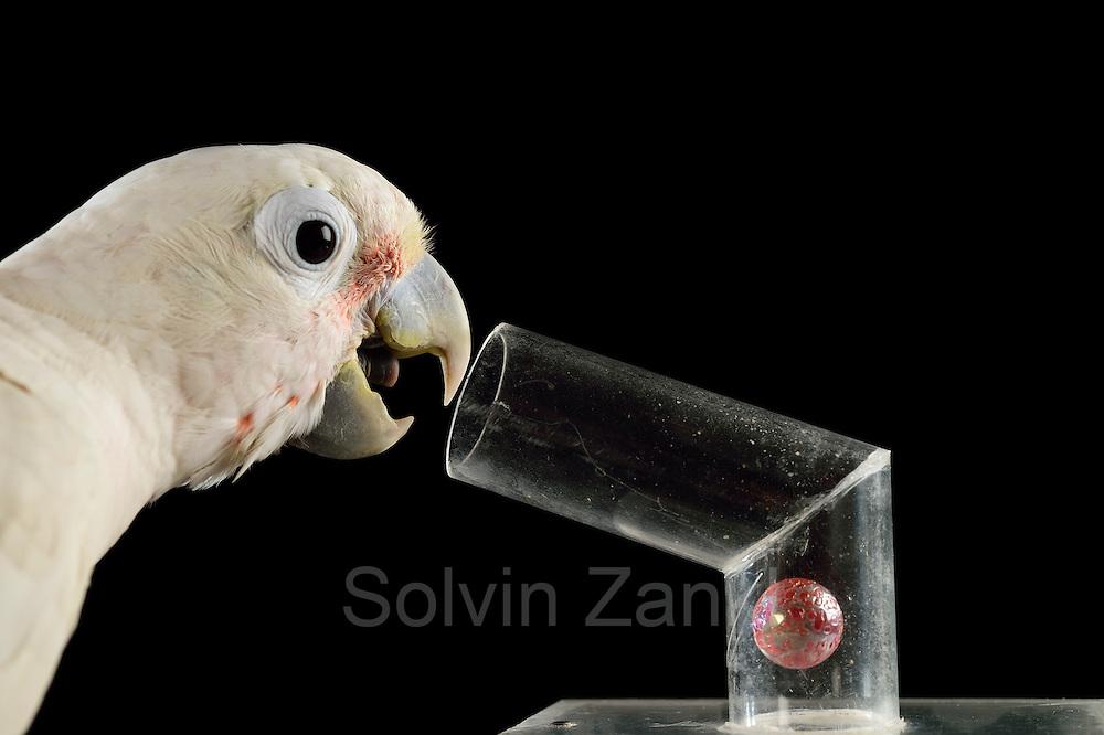 [captive] Goffin's cockatoo (Cacatua goffiniana). In this experiment, the cockatoo learns to use a tool. It needs to use a small ball to remove a treat (peanut) from a box. Goffin's cockatoos or Tanimbar Corellas are endemic to the Tanimbar archipelago in Indonesia. Research on their cognitive abilities is done in the Goffin Lab (Lower Austria) by Dr. Alice M. I. Auersperg. Sequence 7/8.   Goffinkakadu (Cacatua goffiniana). In diesem Versuch muss der Goffinkakadu erlernen, mit einer Kugel eine Belohnung (Erdnuss) heraus zu kegeln, um sie zum Rausfallen aus einer ansonsten unzugänglichen Box zu bringen. Der Kakadu lernt hierbei den Werkzeuggebrauch. Der Goffinkakadu ist eine Papageienart und kommt in freier Wildbahn ausschließlich auf der indonesischen Inselgruppe Tanimbar vor. Forschung zu kognitiven Fähigkeiten des Goffinkakadus wird im Goffin Lab (Niederösterreich) von Dr. Alice M. I. Auersperg durchgeführt. Sequenz 7/8.