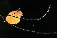 Elm (Ulmus glabra) AUTUMN LEAF. KRASNA LIPA. CESKE SVYCARSKO. CZECH REPUBLIC.
