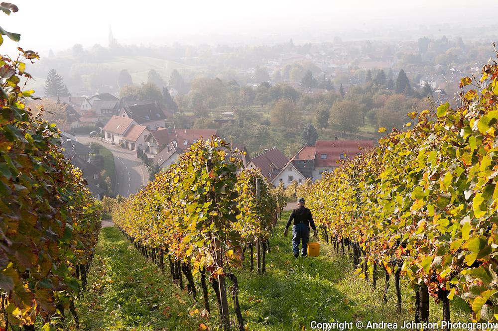 Riesling harvest in the Pfalz wine region near Baden Baden, Germany