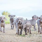 20170929 Weimaraner Puppies Dornick