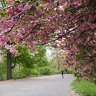 A runner and cherry blossoms along the bridlepath near the Reservoir in Central Park