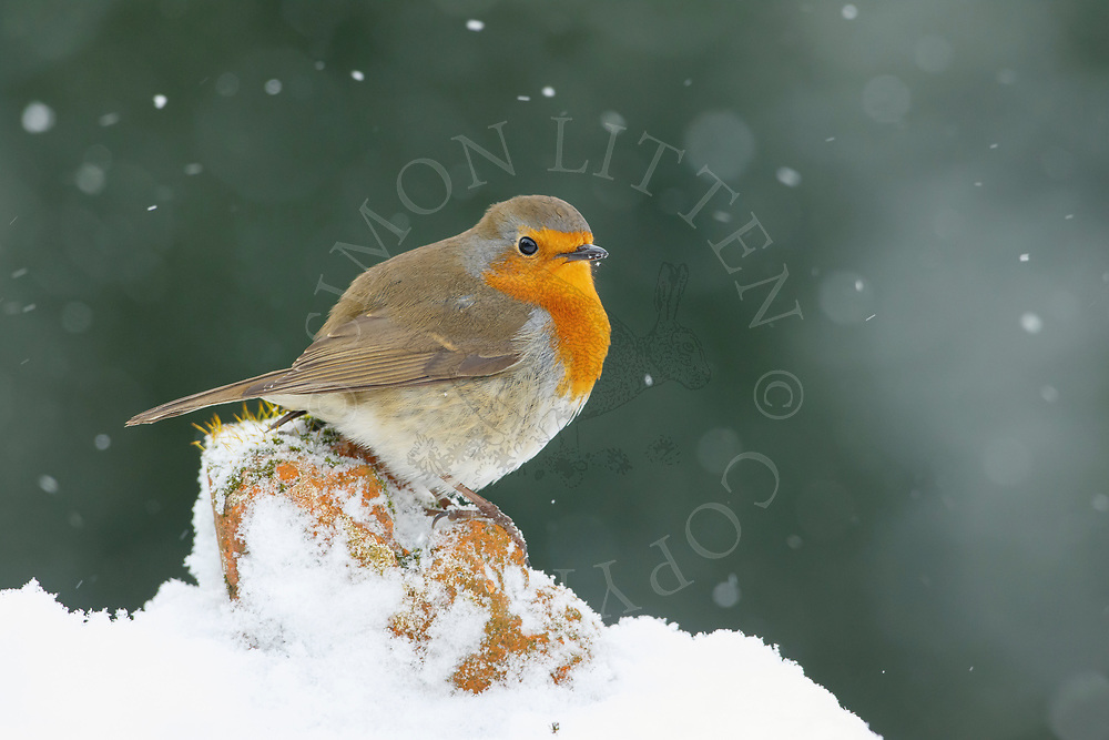 European Robin (Erithacus rubecula) adult, standing on snow covered brick-pile, South Norfolk, UK, March