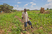 A local villager inspects a maize crop grown under U.N. World Food Programme supervision.