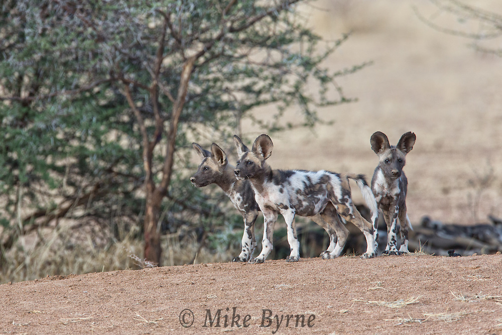 African wild dog in Erindi, Namibia.