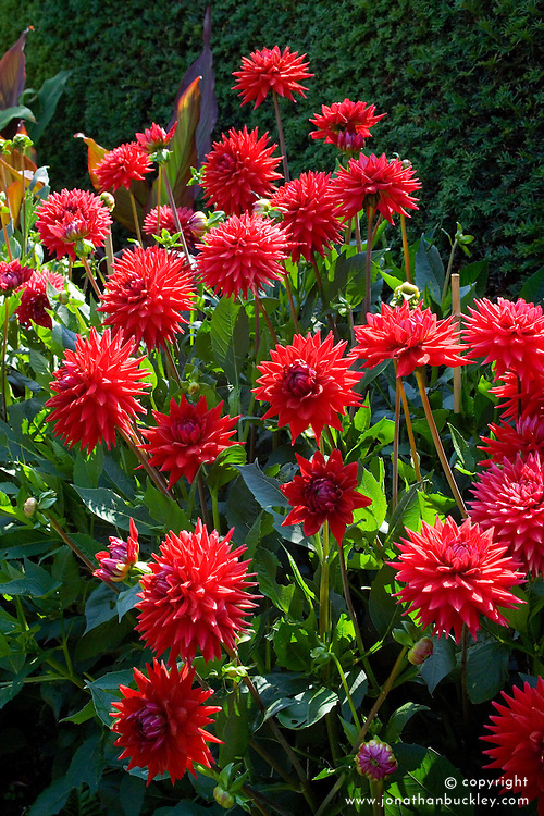 Dahlia Wittemans Superba' AGM