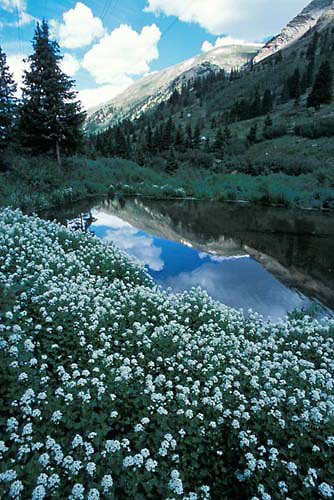 Flowers & pond, Argentine Pass, Colorado