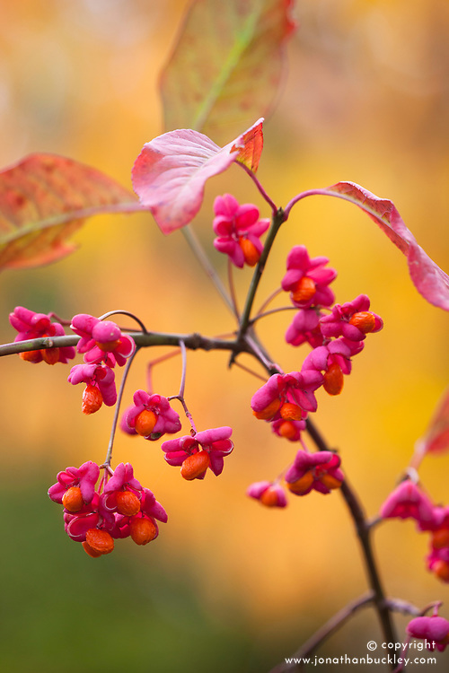Euonymus europaeus 'Red Cascade'. AGM. Spindle