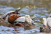 Red-bellied Turtle; Chrysemys rubriventris; basking;  NJ, Pine Barrens, Batsto Lake Wharton State Forest