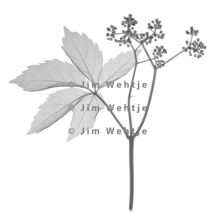 X-ray image of a Virginia creeper leaf and berries (Parthenocissus quinquefolia, black on white) by Jim Wehtje, specialist in x-ray art and design images.