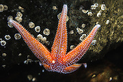 Starfish  captured underwater during a freedive | Sjøstjerne fotografert i sjøen under et fridykk.