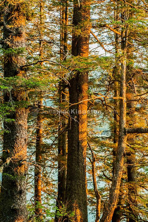 Close up of pine trees at sunset near Juneau, Alaska.