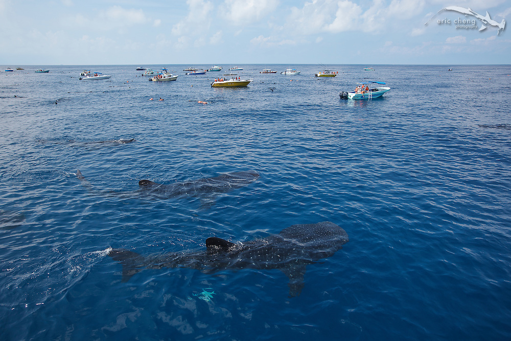 Dozens of boats come to see the aggregating whale sharks (Rhincodon typus) off the coast of Isla Mujeres, Mexico