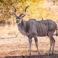 Adult male Kudu