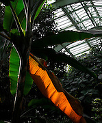 Tropical Rainforest Glasshouse (formerly Le Jardin d'Hiver or Winter Gardens), 1936, René Berger, Jardin des Plantes, Museum National d'Histoire Naturelle, Paris, France. Detail of Musa Plants against the glass and metal roof structure with tropical foliage in the background.