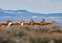 Pronghorn Antelope (Antilocapra americana) running at speed, Sand Wash Basin, Colorado, USA