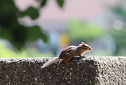 A chipmonk looks for food near Heer Hall on the campus of Kent State University.