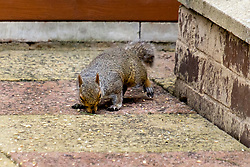 A Grey Squirrel (Scientific name Sciurus Carolinensison) forages discarded bird seed from the path during a brief visit to a small Sheffield suburban  garden.<br /> <br />  Copyright Paul David Drabble<br /> 20 June 2019<br />  www.pauldaviddrabble.co.uk