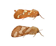 Gold Swift - Phymatopus hecta<br /> 3.004 BF16