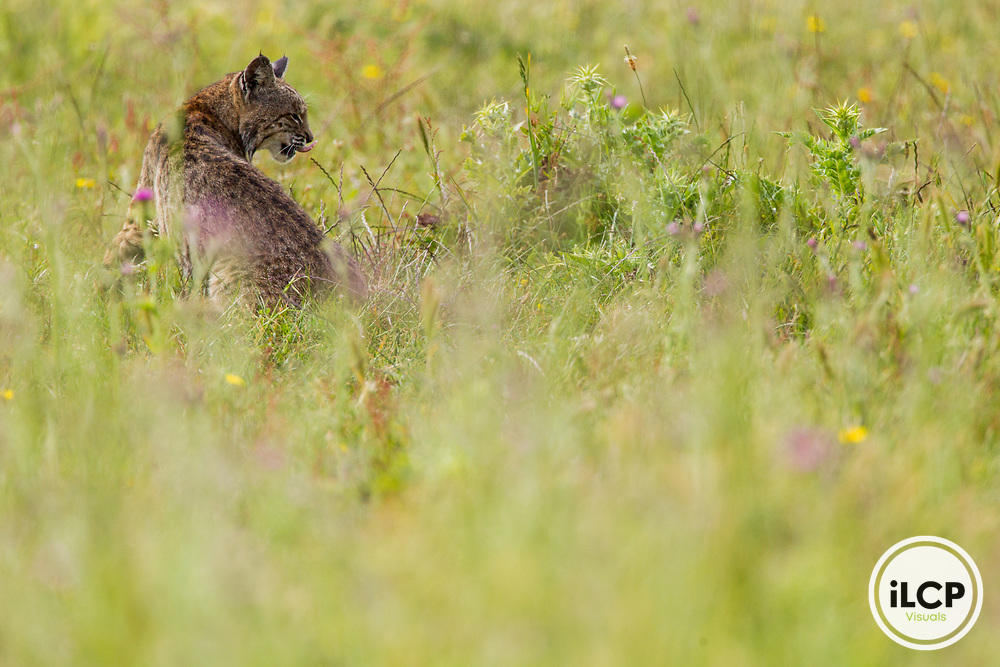 Bobcat (Lynx rufus) licking chops, Point Reyes National Seashore, California