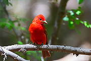 An adult male summer tanager (Piranga rubra) rests on a branch in a lush area at the base of Montezuma Well, part of Montezuma Castle National Monument in Arizona. Summer tanagers mainly eat bees and wasps and are typically found high in the forest canopy. The male summer tanager is the only completely red bird in all of North America.