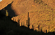 Saguaro cactus (Carnegiea gigantea) grow along Gates Pass in Tucson Mountain Park in the Sonoran Desert,Tucson, Arizona, USA.