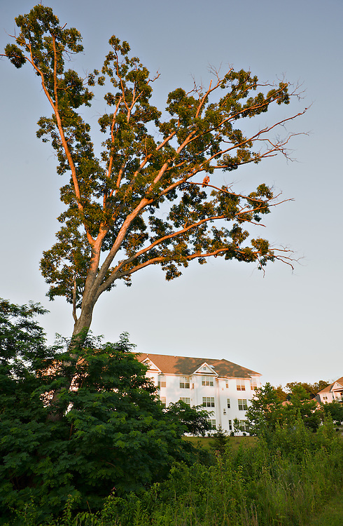 Oak tree and condos, Owings Mills, Maryland