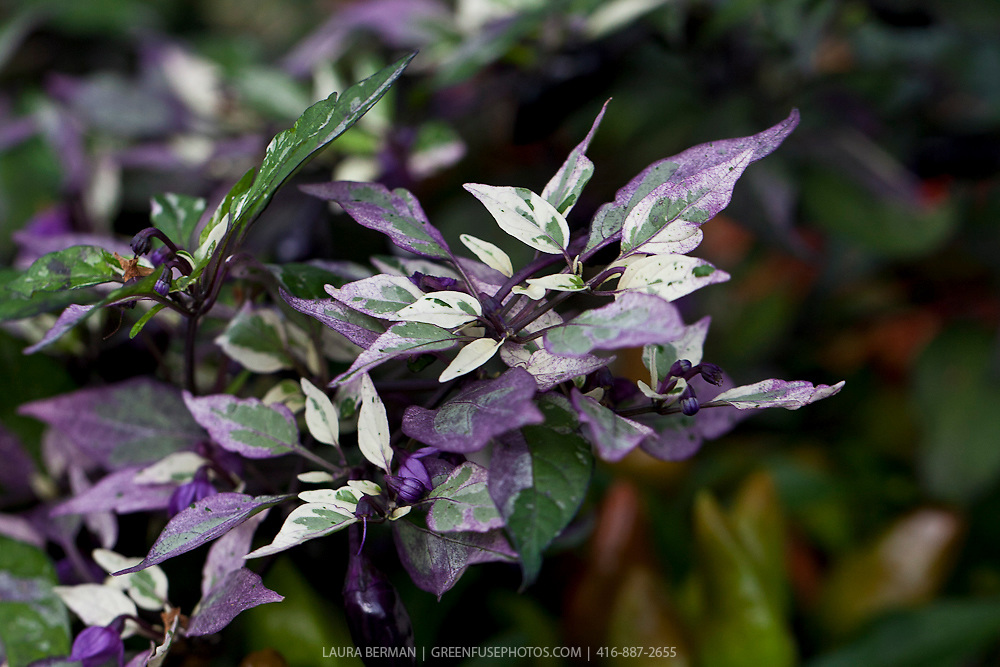 Calico Ornamental Pepper (Capsicum annuum 'Calico') Strongly variegated purple/cream/green tricolour foliage and glossy black fruit. Fruits are extremely hot.