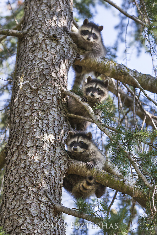 Raccoon <br /> Procyon lotor<br /> Three-month-old orphaned babies learning to climb trees in backyard of foster home <br /> WildCare, San Rafael, CA