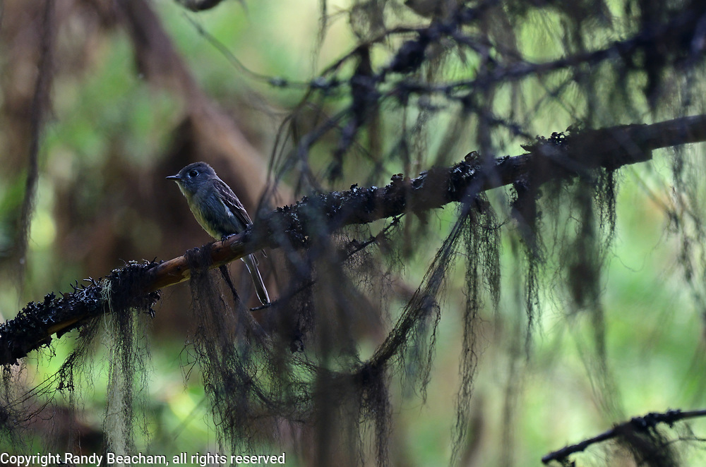 Hammond's flycatcher in an old-growth western larch forest. Yaak Valley in the Purcell Mountains, northwest Montana.