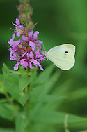 Cabbage White on purple flower along the Chemung River in Corning, NY.