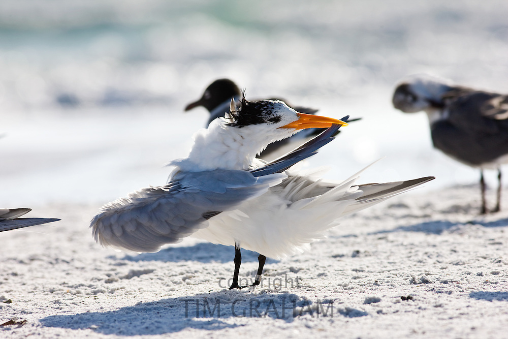 Preening royal tern with laughing gulls on the shoreline at Anna Maria Island, Florida, USA