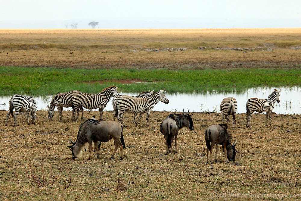 Africa, Kenya, Amboseli. Zebras and Wildebeest graze near water at Amboseli.