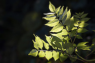 Geveerde bladeren van een tak van de es.<br /> Branch with leaves of common ash (tree)
