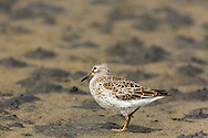 Rock Sandpiper (Calidris ptilocnemis) foraging on St. Paul Island in Southwest Alaska. Summer. Afternoon.