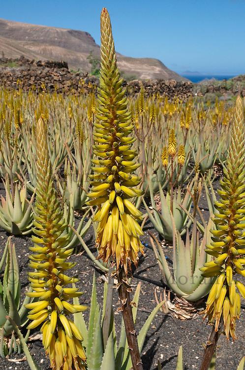 Espagne, Iles Canaries, Ile de Lanzarote, Plantation d'aleo vera // Spain, Canary islands, Lanzarote, Aleo Vera plantation