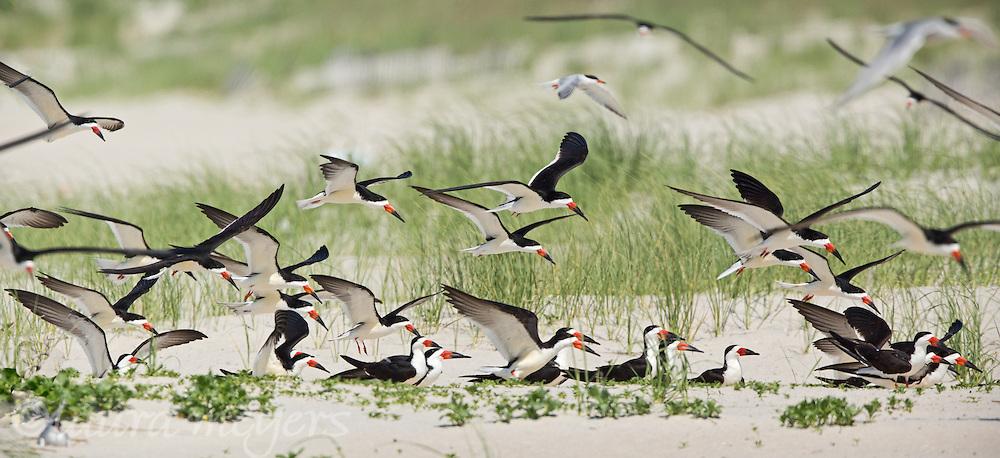 Black Skimmers in Flight at Nickerson Beach in Nassau County